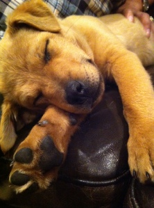 """Chloe - Golden Lab, Golden Retriever.  We are now entering into our """"Golden Years""""."""